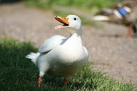 Ducks-(Fully-Grown)---Pekin-Ducks-