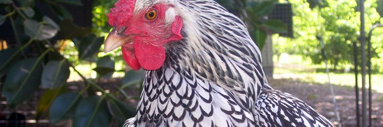 Chickens and Poultry for sale Brisbane